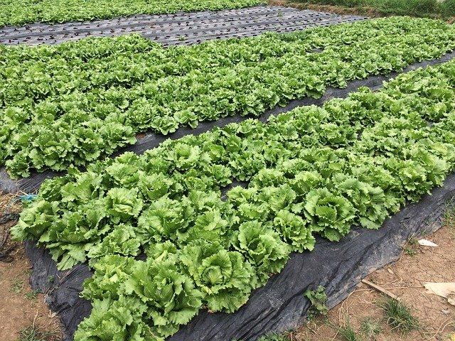 pěstování salátu