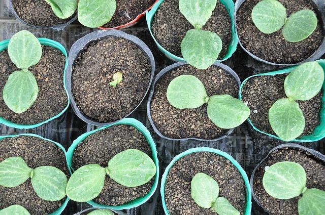 pěstování sazenic