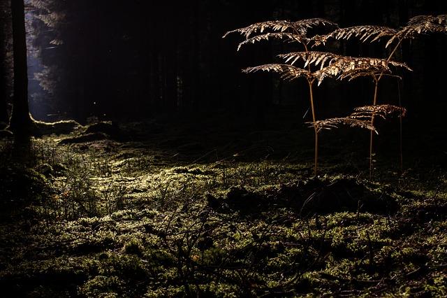 kapradiny v lese