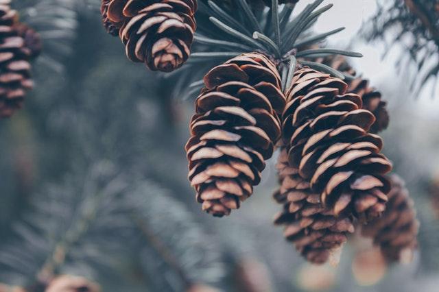 šišky na větvi